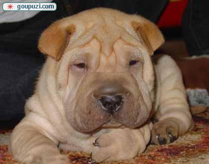 热销多只优秀的北京纯种沙皮狗幼犬签订终身纯种健康协议