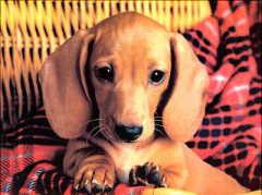 雅安实体店出售精品腊肠犬保健康看父母照片喜欢加微信