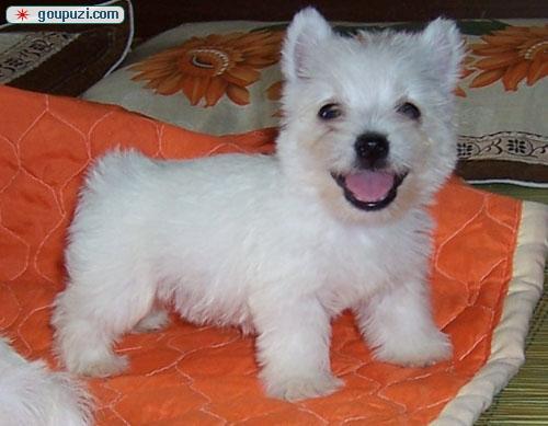 知名犬舍出售多只赛级西高地微信咨询看狗