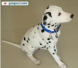 出售多只优秀的斑点狗可上门可刷卡可视频