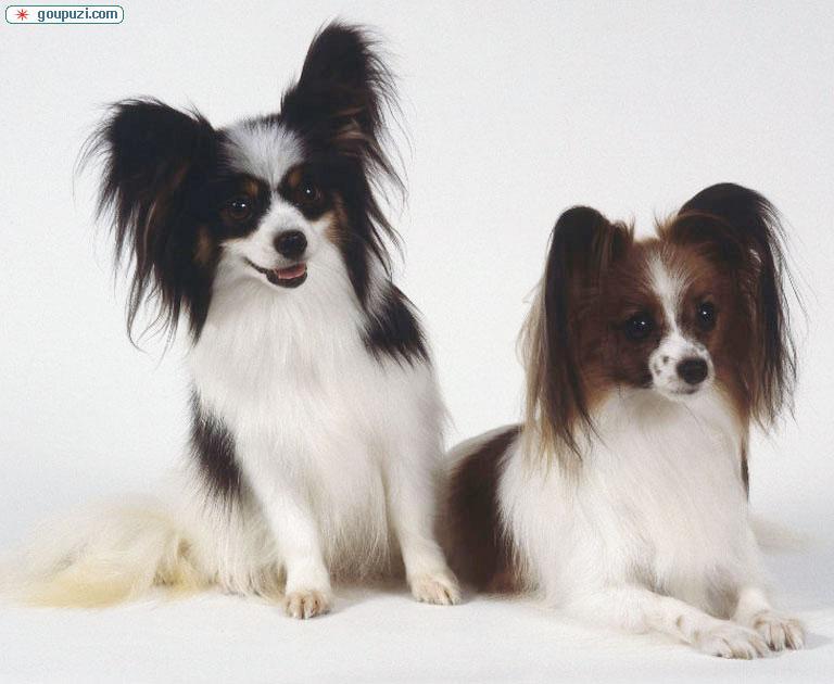 CKU犬舍认证出售高品质成都蝴蝶犬品质优良诚信为本