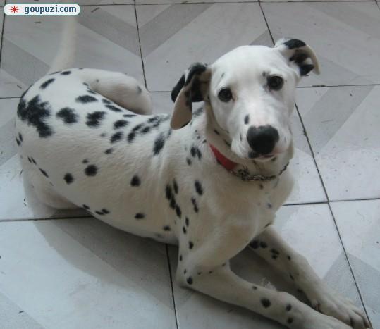 自家养殖纯种斑点狗低价出售国际血统证书