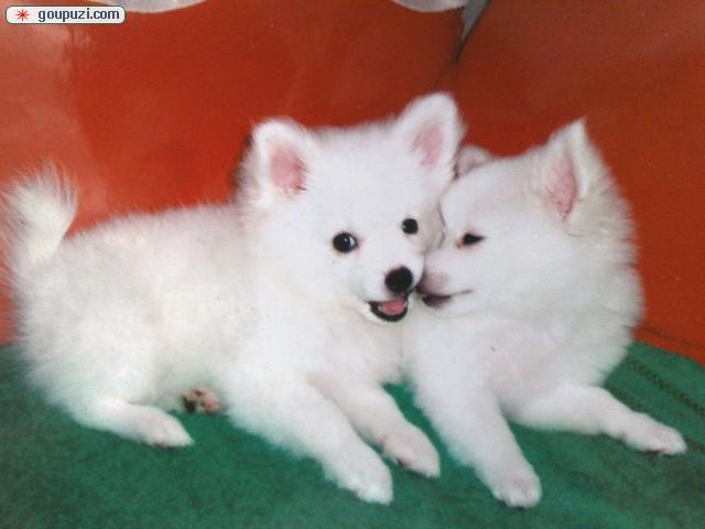百分百健康纯种银狐犬黄石热卖中品质血统售后均有保障