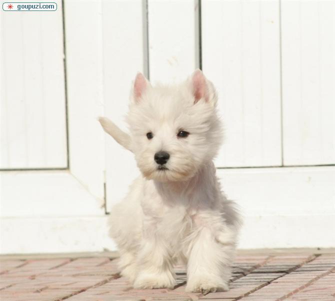 专业正规犬舍热卖优秀郑州西高地微信视频看狗