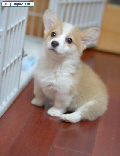 犬舍低价热销 柯基血统纯正均有三证保障