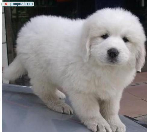 超级极品大白熊(Great Pyrenees)幼犬宝宝出售中