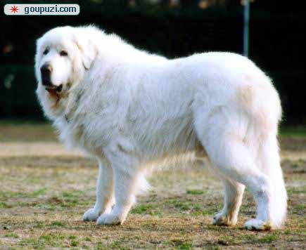 广州哪里有卖大白熊 长毛~短毛的大白熊 健康大白熊