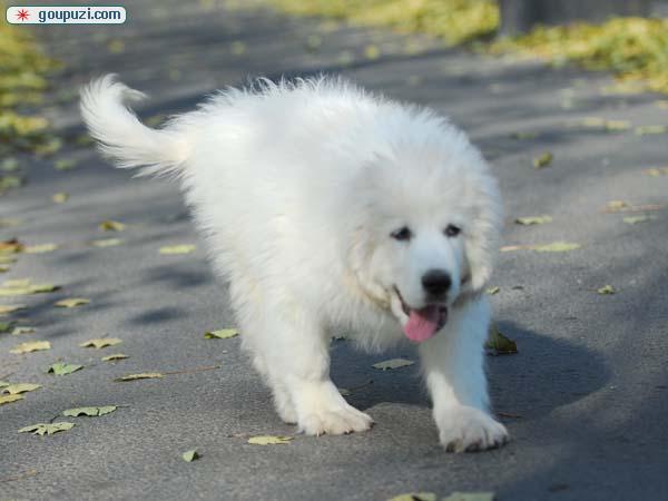 镇江出售纯种熊版大白熊犬威武勇敢欢迎咨询