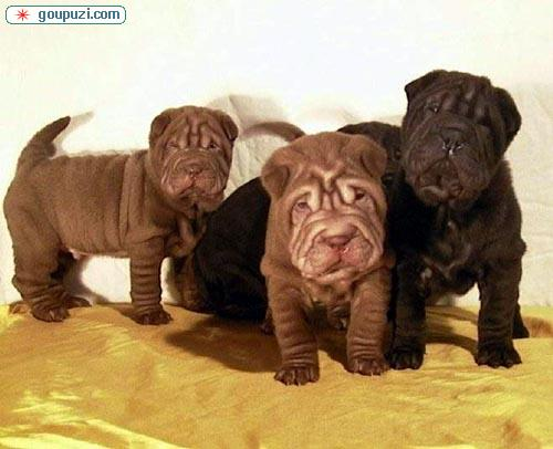 成都哪里有卖纯种的沙皮犬的 成都正宗沙皮犬多少钱
