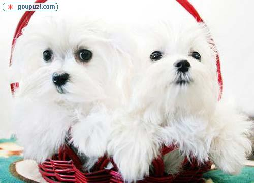 马尔济斯幼犬出售中、低价热销保健康、质保健康90天