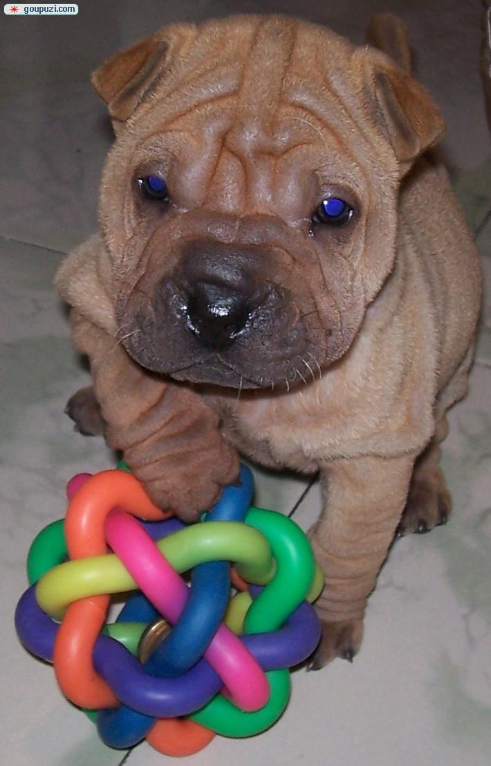 出售憨厚可爱的小沙皮狗