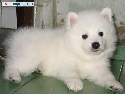 精品银狐犬热销中、价格美丽品质优良、喜欢加微信