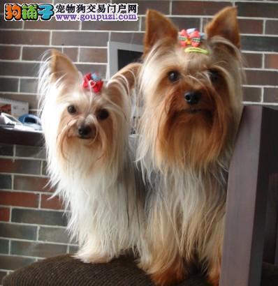 上海售约克夏梗犬约克郡梗 公母全有可挑选