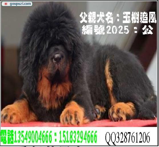 中国 那曲/中国最大的藏獒供应商[一个月公母全有]