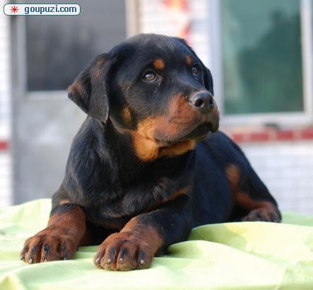 重庆哪里有卖罗威纳犬的 罗威纳犬价格