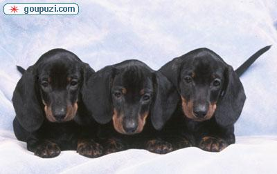 通州哪里有卖腊肠犬 腊肠犬什么价格 纯种腊肠犬