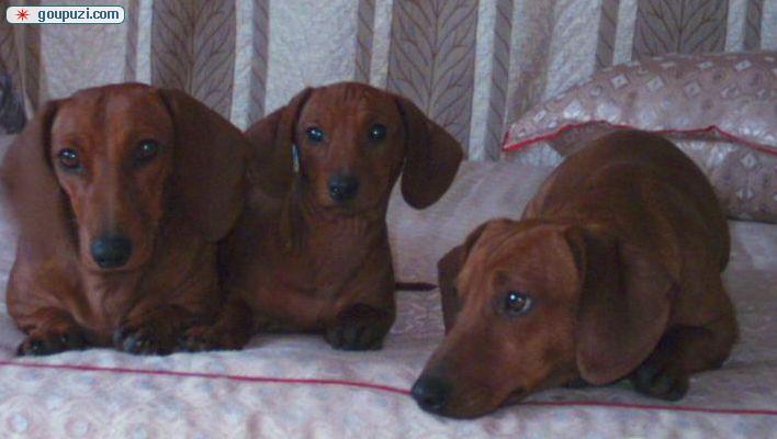 CKU认证犬舍 专业出售极品 腊肠犬幼犬金牌店铺有保障