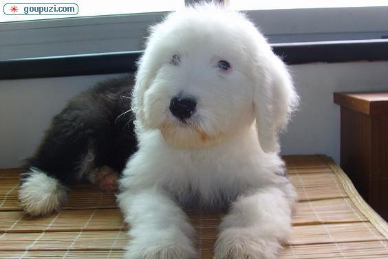 武汉正规犬舍高品质古代牧羊犬带证书签正规合同请放心购买