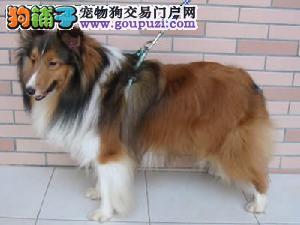 喜乐蒂 不以价格惊天下 但以品质惊世人全国十佳犬舍