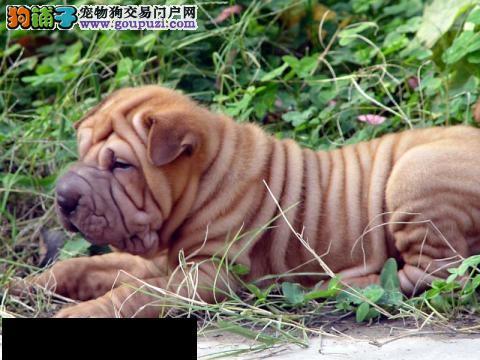 颜色全品相佳的沙皮狗纯种宝宝热卖中价格美丽非诚勿扰