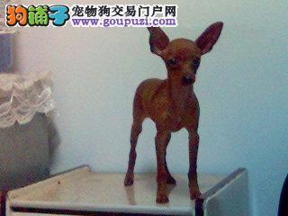 南京哪里有卖家养的小鹿犬在南京小鹿犬多少钱一只