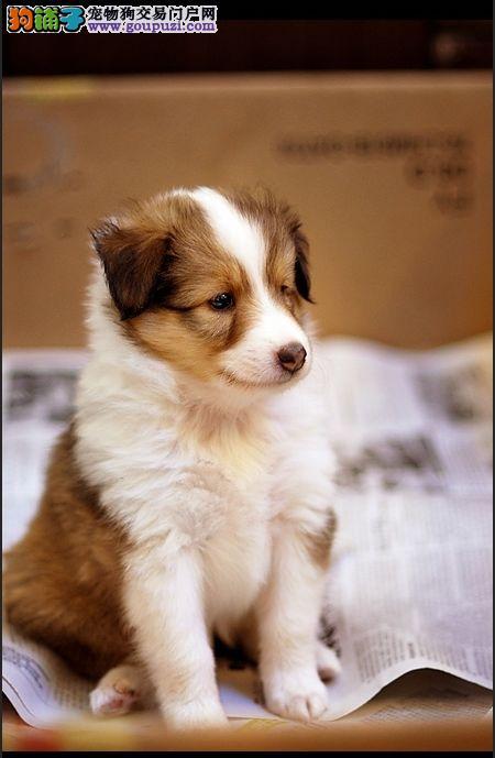 多种颜色的赛级喜乐蒂幼犬寻找主人可签订活体销售协议