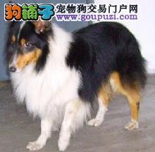 喜乐蒂牧羊犬幼犬纯种赛级三色喜乐蒂宠物 健康有保