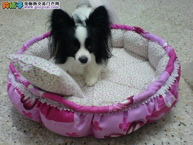 纯种蝴蝶犬直销,保证品质一流,提供养护指导