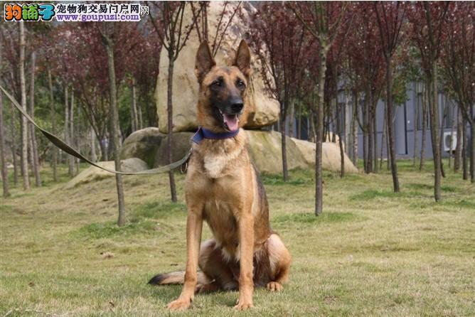 训练犬出售训练犬出售