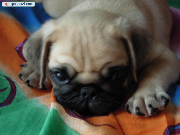 知名犬舍出售多只赛级巴哥犬包养活送用品