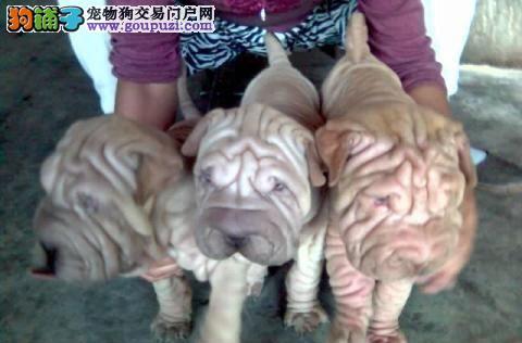重庆出售极品沙皮狗幼犬完美品相重庆市内免费送货