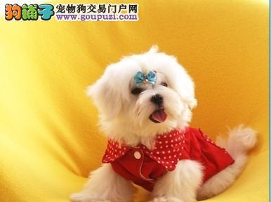 出售纯中的漂亮的马尔济斯幼犬 喜欢的不要错过