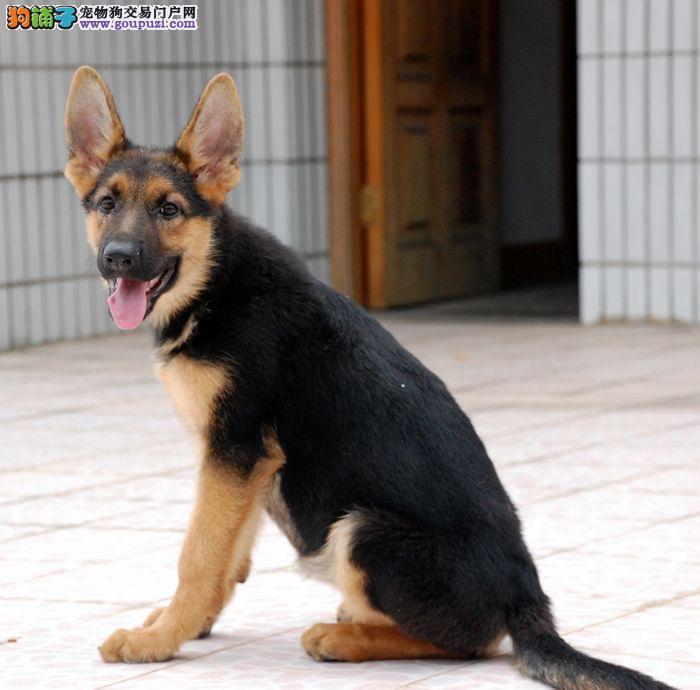 出售德国牧羊犬幼犬 纯正血统完善服务 喜欢加微信