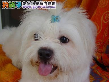 出售健康可爱的微笑天使马尔济斯幼犬