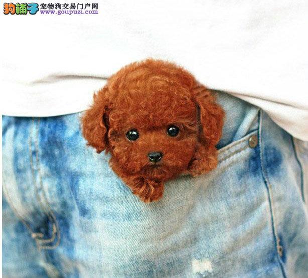 出售火红色咖啡色玩具泰迪和茶杯泰迪成种幼犬均售