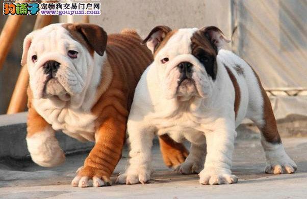 泉州哪里有卖斗牛犬的 纯种斗牛犬多少钱