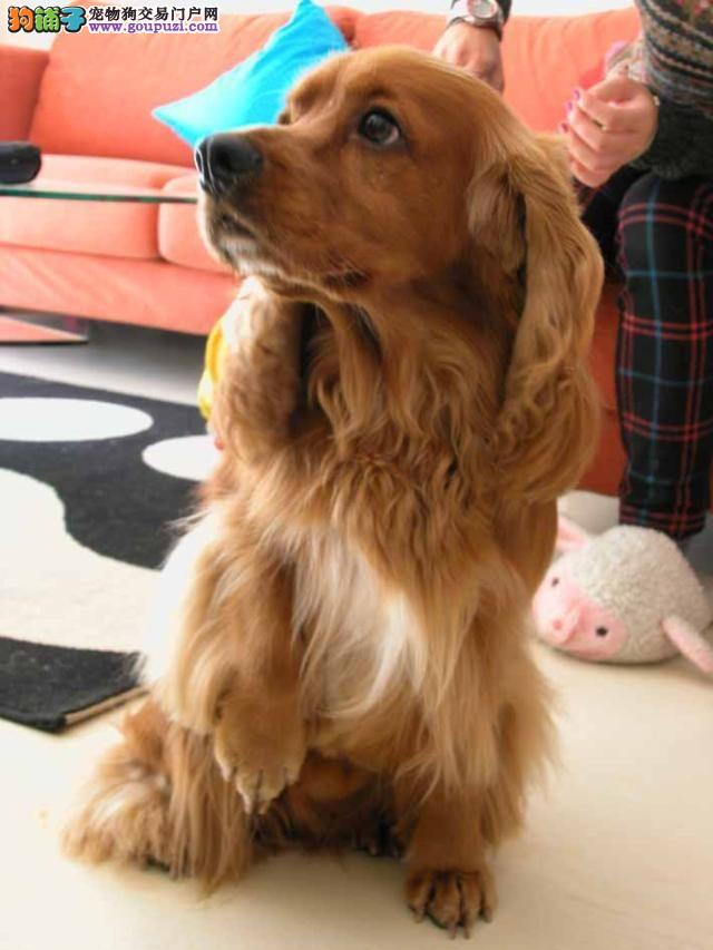 江苏哪里有可卡犬卖 纯种的卖多少钱