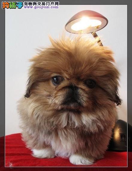 繁殖基地出售纯种犬幼犬、京巴价格、图片