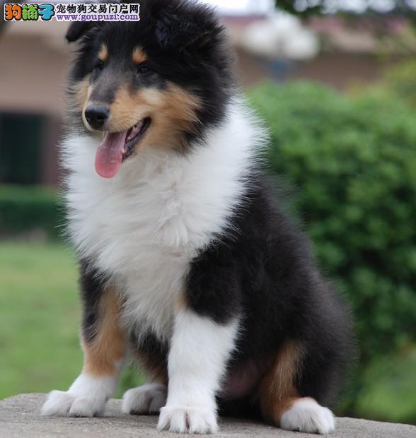 纯种苏格兰牧羊犬幼犬,CKU认证犬舍,提供养护指导