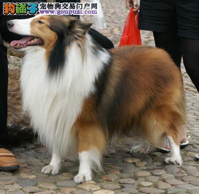 本犬业出售纯种的喜乐蒂,品质与信誉至上!