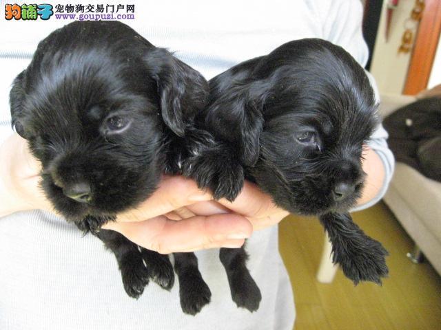 杭州出售可卡幼犬|杭州哪里有可卡|可卡多少钱