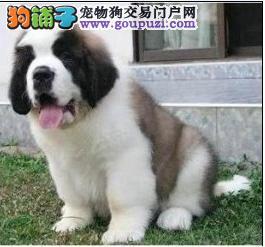 出售极品圣伯纳犬 健康有保障 纯种血统