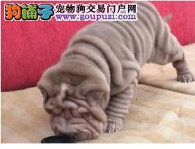 颜色全品相佳的沙皮狗纯种宝宝热卖中三针疫苗齐全