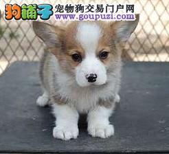 精品柯基幼犬一对一视频服务买着放心签协议上门选