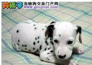 正规狗场繁殖斑点狗 签订购犬合同