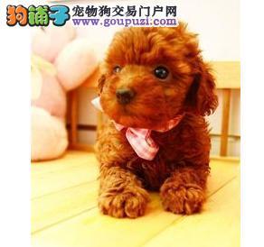 武汉精品高品质茶杯犬宝宝热销中终身售后送货