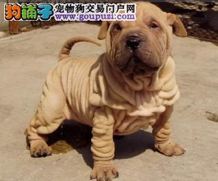 重庆出售沙皮狗颜色齐全公母都有微信咨询看狗
