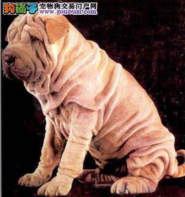 实物拍摄的沙皮狗找新主人购犬可签协议