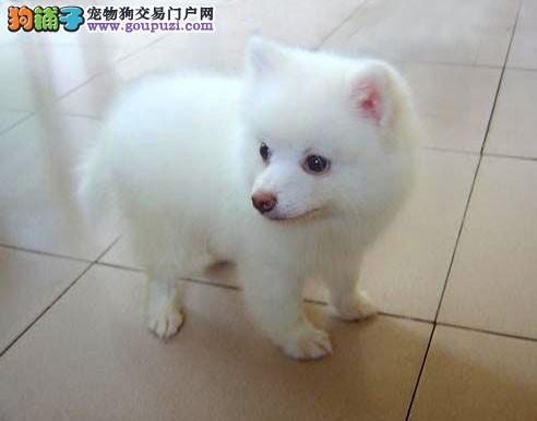 实物拍摄的南昌银狐犬找新主人期待您的咨询
