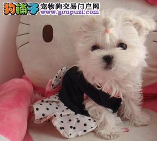 马尔济斯西施犬等高端幼犬出售 正规养殖品质
